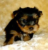 Lovely Yorkie Puppies For Adoption