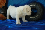 Lovely...English Bulldog Puppies Available For Adoption.