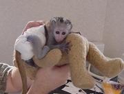 Cute baby Capuchin monkeys for adoption