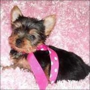 cute yorkies for adoption