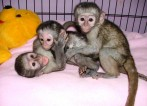 Gorgeous baby Capuchin monkeys for Adoption.