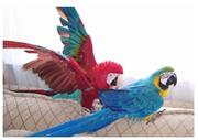 pretty and cute macaws parrots for sale