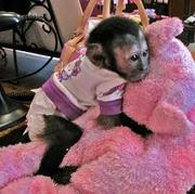 lovely capuchin monkey for sale